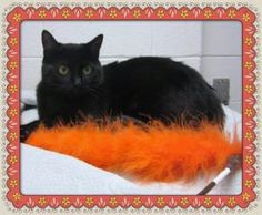 Simone is a beauty! Gorgeous shiny black fur coat and she has very pretty eyes. She arrived at the shelter as a stray on 1/3/13 and no one ever came looking for her. She is 8 months old, her ID is 551768, and she is in cage 688. She is UTD on shots, will be spayed, combo tested and microchipped when adopted. When calling please use THE ID NUMBER. Cobb County Animal Shelter, 1060 Al Bishop Drive Marietta, Georgia 30008, call (770) 499-4136 for more info