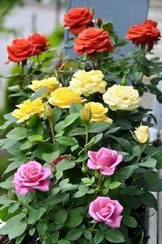Red Rose La Cubana Hd