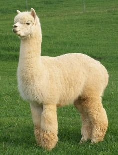 I want an alpaca. Husband says absolutely not. I could turn the garage into an alpaca barn... I wonder if he would notice.....