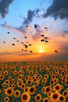 Sunset of sunflower field