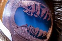 L'iris d'un lama / Lama's eye