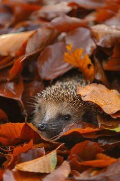 Cute hedgehog hiding amongst autumn leaves