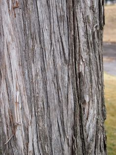 Juniperus virginiana // Eastern Red Cedar