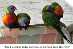 Rainbow lorikeets sheltering from very heavy rain on a cold winter`s day