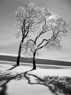 Trees in the Snow Photographic Print by Alfred Eisenstaedt