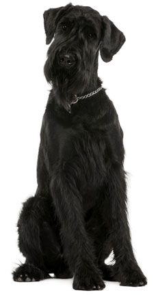 Giant Schnauzer!  the Giant Schnauzers are very : loving, child friendly, affectionate, loyal, smart, high maintenance, adaptable, and they make a wonderful inside dog believe it or not.  be prepared, they think they are human, and expect to be treated as such!  we love love love love love ours!