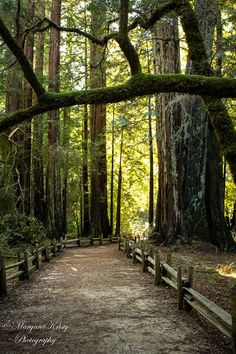 Redwood Forest Pathway - tallest trees green photography