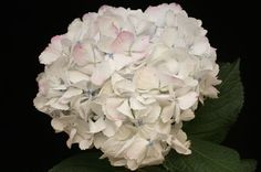 Hydrangea Antique Pink Wholesale Flowers (14 stems)