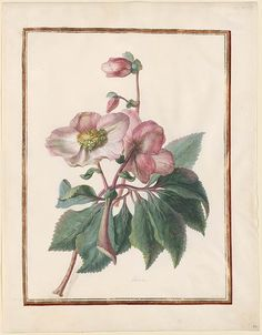 Helleborus niger (Elebore Christmas rose ). Watercolour by Circle of Madeleine Françoise Basseporte (1701-1780). Image and text courtesy The Morgan Library and Museum.