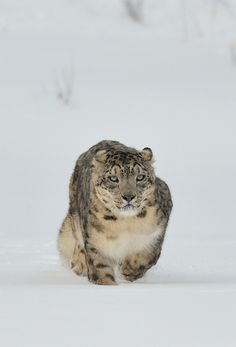 The rare snow leopard commonly foun on mountains numbers in the hundreds.