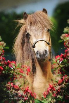 miniature horse .