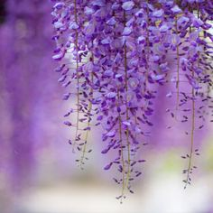 Wisteria - the beautiful mauve of spring