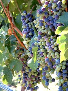 Purple and blue grapes; beautiful colors!