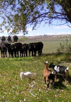 Goats,Calves & Cat