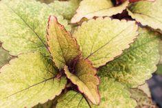 Strangeu0027s Garden Center: Coleus: The Most Versatile Annual Ever?