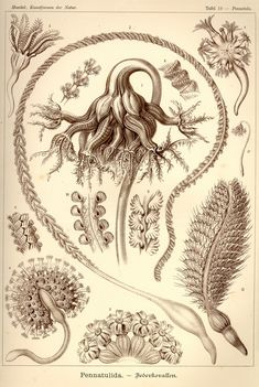 The published artwork of Haeckel includes over 100 detailed, multi-colour…