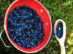 Blue and Crowberries gently picked with old fashioned berry comb