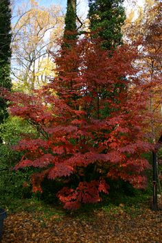 Pink dogwood fall (Cornus kousa 'Satomi')