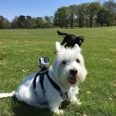I can't see your tongue photobomber don't you know it's #tongueouttuesday #tot  #westies #westie #westhighlandterrier #westhighlandwhiteterrier #westiesarethebesties #westiesofinstagram #westy #whwt #terrier #westielife #westietude #westiesarethebest #dogs_of_instagram #lovedogs #pets #lacyandpaws #dog #dogs #dogsofinstagram #cutedog #westiemoments #westiegram #lovemywestie #puppytales #scottiesandwesties #buzzfeedanimals by rachael_and_poppy