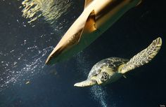 A green sea turtle (R) (Chelonia mydas) swims next to a blacktip reef shark (L) (Carcharhinus melanopterus) in the aquarium of the Haus des Meeres ('House of the Sea'), in Vienna on June 27, 2012. (ALEXANDER KLEIN/AFP/GettyImages)
