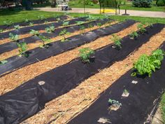 PLOT OF VEGETABLES WITH BLACK CLOTH KEEP THE WEEDS OUT