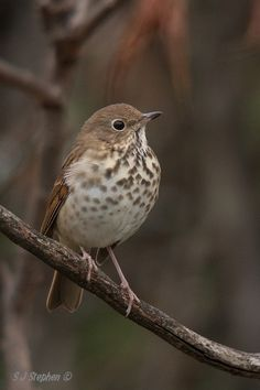 Hermit Thrush - heard more than seen. Hermit thrush has a seductive, ghostlike song