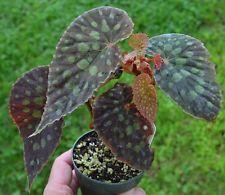 Begonia chlorosticta Red form (Rare Mayalsian species)