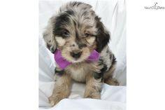 8 Best Aussiedoodle Images Puppies Australian Shepherd