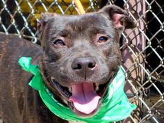 GONE 5/8/2015 --- Manhattan Center DRAKE – A1034905 MALE, BL BRINDLE / WHITE, PIT BULL MIX, 3 yrs STRAY – STRAY WAIT, NO HOLD Reason STRAY Intake condition UNSPECIFIE Intake Date 04/30/2015