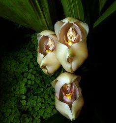 Flores incríveis (1Bebês embrulhadinhos (Anguloa Uniflora)
