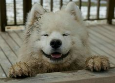 My Samoyed will revel in misbehavior, yet escape reprimand through immeasurable cuteness.