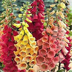 Foxglove, a stately classic for your cottage garden. Perennial; these grow up to 5' tall and can be grown in part to full shade. They bloom in early summer.