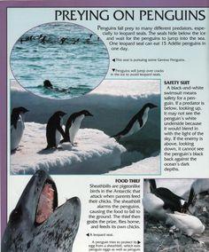 Penguin Facts | Penguin Place Penguin Facts, Gentoo Penguin, Predator, Penguins, Whale, Places, Animals, Whales, Animales