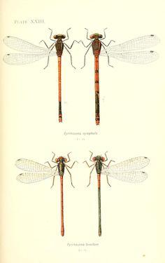 British dragonflies - Biodiversity Heritage Library