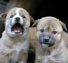 These are two of the seven dingo puppies born at Featherdale Wildlife Park in Sydney. The six girls and one boy born at a NSW wildlife park are almost ready to meet the public after learning the ropes from dad Ernie and mum Tia.