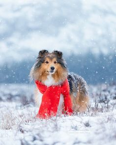 Snow Today, Winter Photography, Sheltie, Mountains, Live, Animals, Instagram, Animaux, Winter Pictures