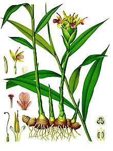 ginger-botanical