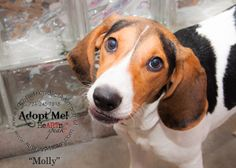Molly is an adoptable Treeing Walker Coonhound Dog in Uniontown, PA. Molly is 7 months old and house trained. She has went through puppy training classes at Petsmart. Puppy Training Classes, Treeing Walker Coonhound, 7 Month Olds, 7 Months, Corgi, Adoption, Puppies, Pets, House