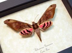 Real Framed Rare Moth Adhemarius Gannascus Pink Hawkmoth Costa Rica Shadowbox Display 8172 by REALBUTTERFLYGIFTS on Etsy https://www.etsy.com/listing/216209627/real-framed-rare-moth-adhemarius