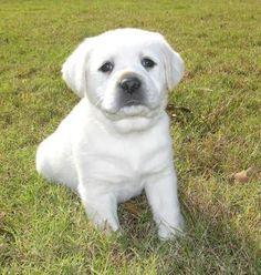 281 Best Playful Labrador Retrievers Images Fluffy Animals Cute
