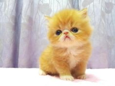 pictures of flat faced persian kittens | Persian Kitten For Sale - 1 Year, Flat Face Persian Kitten - Female ...
