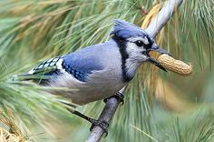 You'll be impressed with the variety of species you'll attract by offering peanuts at your bird feeders.