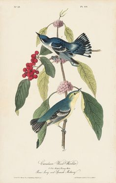 Octavo First Edition, circa 1839, Plate: 86 Cerulean Wood Warbler