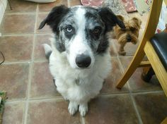 Patch  8 year old male Border Collie #cutedogs #cute #dogs #dog #pets #babblepets
