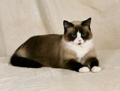 "Like his ancestor the Siamese, the Snowshoe is a pointed cat, meaning she has a light-colored body with dark areas in seal or blue: the tail, legs, and ears, plus a mask around the eyes, broken up by an inverted V-shaped marking in white between blue eyes and over the muzzle. Four white paws punctuate the dark legs, with the front paws termed ""mittens"" and the rear paws ""boots."""
