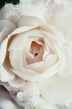 White roses are SOOOO lovely