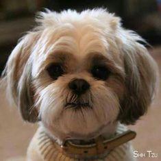 Shitzu Puppies, Bichon Frise, Cute Puppies, Cute Dogs, Dogs And Puppies, Doggies, Shorkie Dogs, Havanese, Perro Shih Tzu