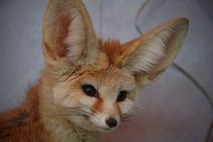 Fennec Fox by cml.1674, via Flickr