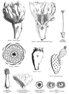 Medicinal Plants Database Search | Practical Guide | Contact | The Authors  22 references related to the following plant  Official name: Opuntia ficus-indica (L.) Mill. Family: Cactaceae