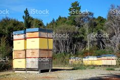 Beehives in a Manuka Plantation royalty-free stock photo Agriculture Photos, Stock Imagery, Kiwiana, Manuka Honey, Image Now, Display Ideas, New Zealand, Royalty Free Stock Photos, World